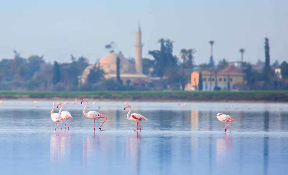 Фото: Розовые фламинго на Кипре (Ларнака)